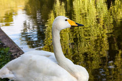 Swan at water surface Stock Photography
