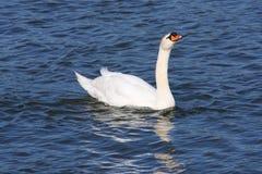 Swan in water. Swan swim in the blue  sea Stock Photos