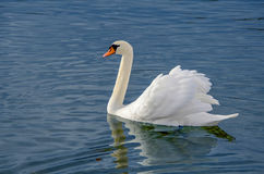Swan in water Stock Image