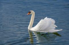Swan in water. Swan swiming Stock Image