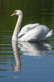 Swan on water. Swan swimming on the water with reflection Royalty Free Stock Photos