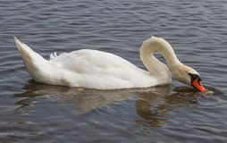 Swan on the water. Stock Image