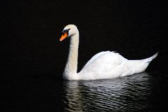 Swan in water Royalty Free Stock Photo