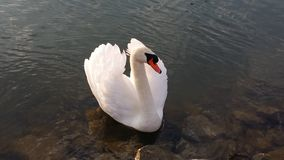 Swan, Water, Water Bird, Animal Royalty Free Stock Image