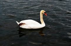 The swan on the water. The white swan on the water Stock Photo