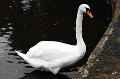 Swan. Water swan white beautiful bird Royalty Free Stock Image