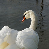 Swan at the water. Stock Image