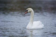 Swan on the water. White swan floating in the lake Royalty Free Stock Images