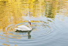 Swan in the water. White Swan On The Lake Stock Photography