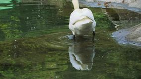 Swan In Water stock video