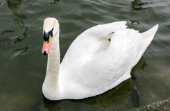 Swan in the water Stock Image