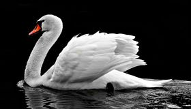Swan, Water, White, Water Bird Stock Photography