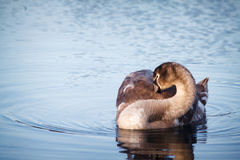 Swan on the water Yoga Royalty Free Stock Image