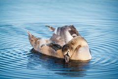 Swan on the water Yoga in Helsinki. Stock Image