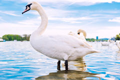 Swan in the water Royalty Free Stock Photo