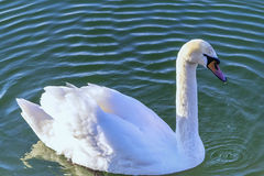Swan and the waves. White swan which represents purity and fidelity ... A beautiful piece of nature that soothes and inspires us every day .... Suitable for Royalty Free Stock Images