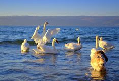 Swan waving wings among the flock Royalty Free Stock Photo