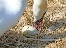 Swan which moves large egg carefully using the beak Royalty Free Stock Photos