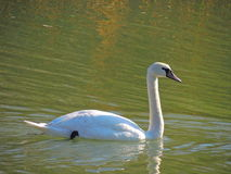 Swan. A white swan Royalty Free Stock Photo