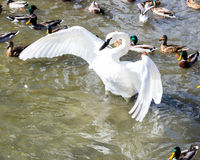 Swan. White swan bird start figt with ducks Royalty Free Stock Photos