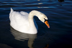 Swan. White swan on the blue sea Royalty Free Stock Photography