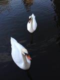 White Swan on dark water Stock Photography