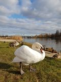 Swan. White swan and ducks stock images