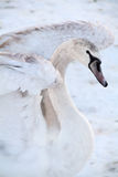 Swan with white feathers Stock Images