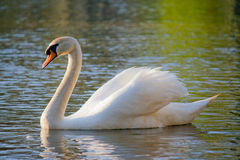 Swan. White swan is float on water Stock Photo