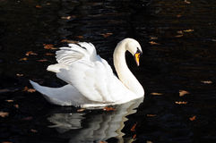Swan. White swan floating on dark water lit by the sun Royalty Free Stock Photo