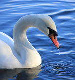 Swan. White swan floating on a pond Stock Photo