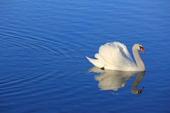 Swan. White swan floating on a pond Stock Photography