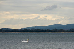 Swan. White swan floats on the sea on a background of mountains and sky Royalty Free Stock Images
