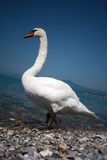 Swan. White swan from Geneva lake Stock Photos