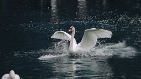 Swan. A white swan gracefully swims through a pond with wings outstretched Royalty Free Stock Photography