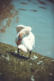 Swan. White swan on the grass by the lake Royalty Free Stock Photos