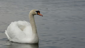 Swan. White swan on a lake Royalty Free Stock Photo