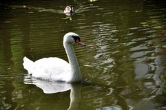 Swan. White Swan in the lake Royalty Free Stock Images