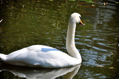 Swan. White Swan in the lake Stock Image