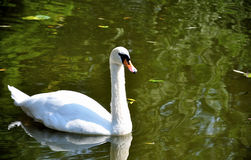 Swan. White swan in the lake Royalty Free Stock Photos