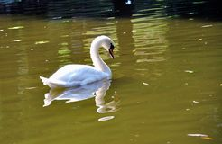 Swan. White swan in the lake Royalty Free Stock Image