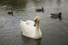 Swan. White swan on a lake on the background of three floating ducks Royalty Free Stock Photography