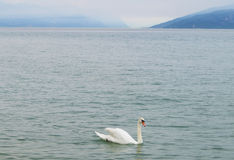 Swan. White swan on lake Garda Royalty Free Stock Images