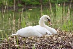 Swan white nest Stock Image