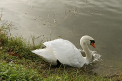 Swan. Royalty Free Stock Photos