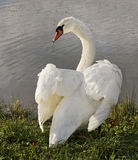 Swan. Stock Images