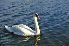 Swan. White swan on a pond Stock Photo