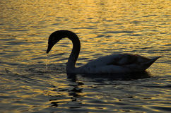 Swan. White swan on a pond Royalty Free Stock Images