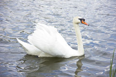 Swan. White swan on a pond on a clear day Royalty Free Stock Photos