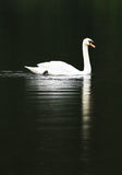 The Swan. White Swan in the river alone royalty free stock images